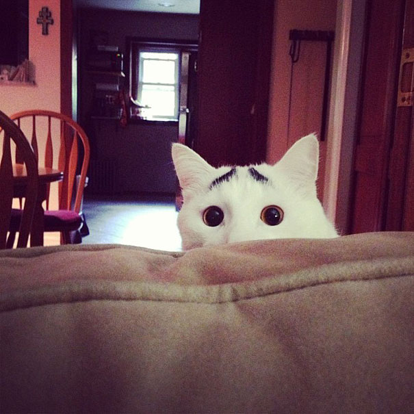 gato con mancha en forma de cejas