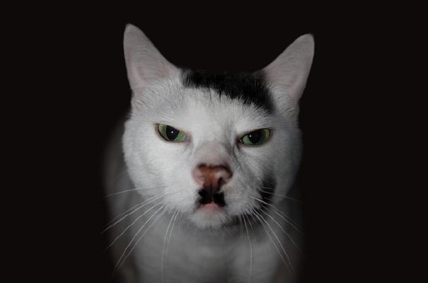 gato enojado con copete