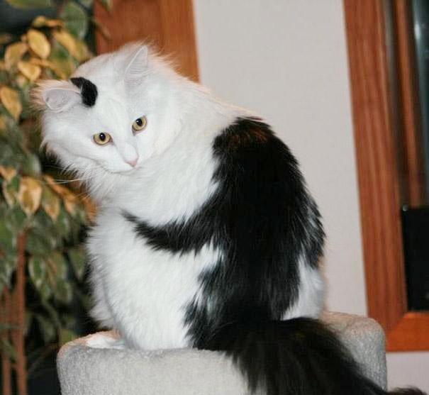 gato con mancha negra