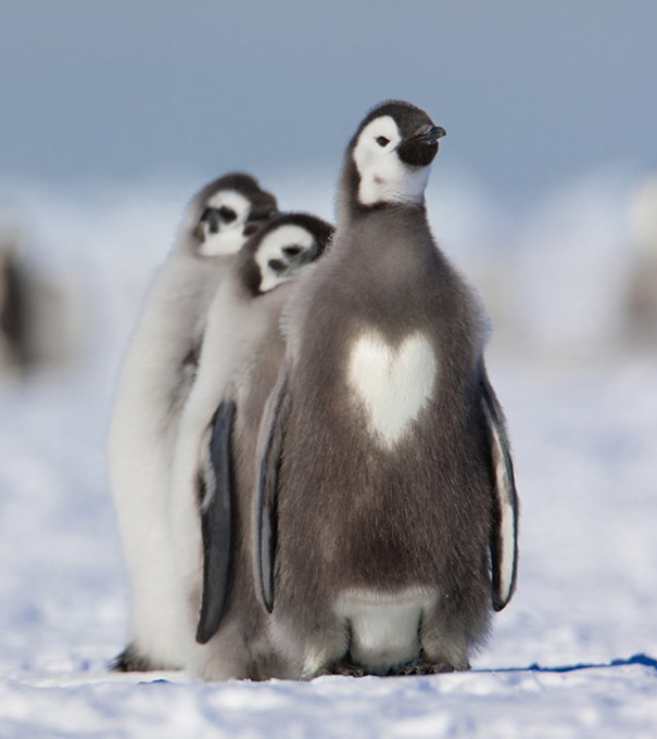 pinguino con corazon