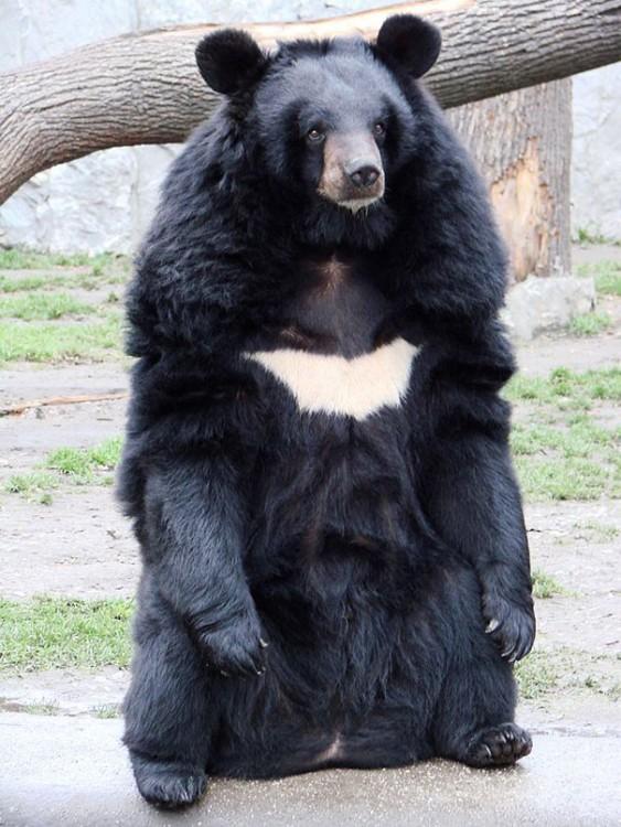 oso negro con mancha blanca