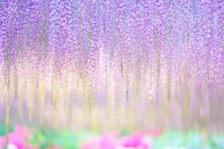 flores multicolor del árbol whisteria 144 años