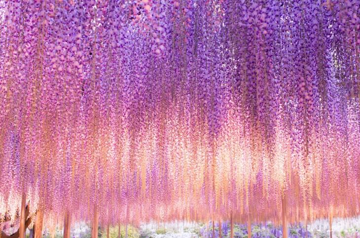 flores colgantes multicolor del árbol whisteria, japón