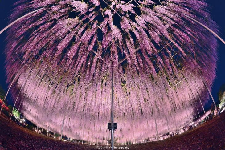 soportes del árbol whisteria en Japón