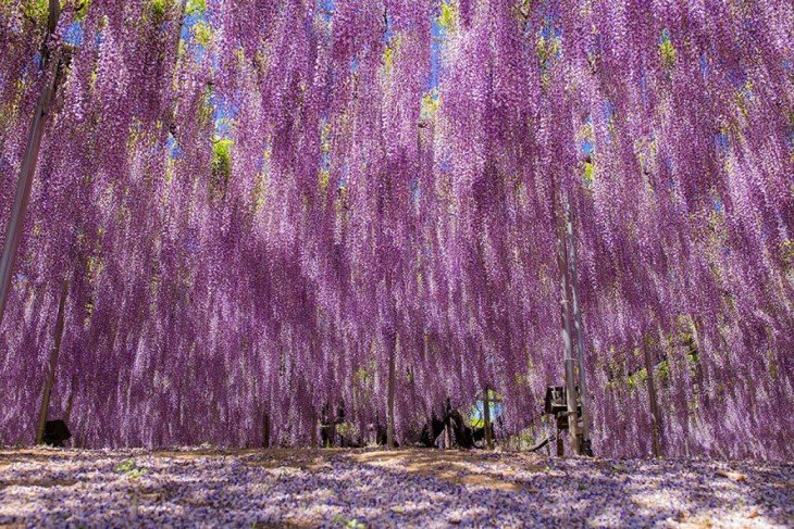 árbol whisteria 144 años en primavera