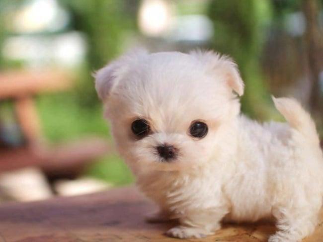 perrito miniatura blanco