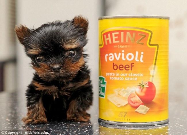 perrito yorkshire del tamaño de una lata de frijoles