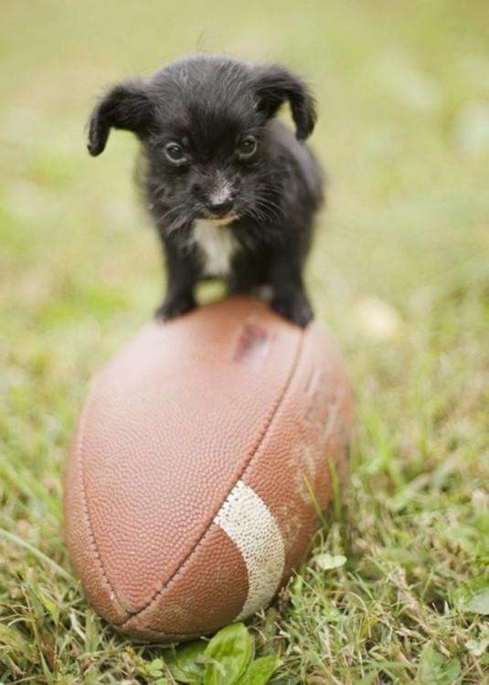 perrito negro con balon de futbol americano
