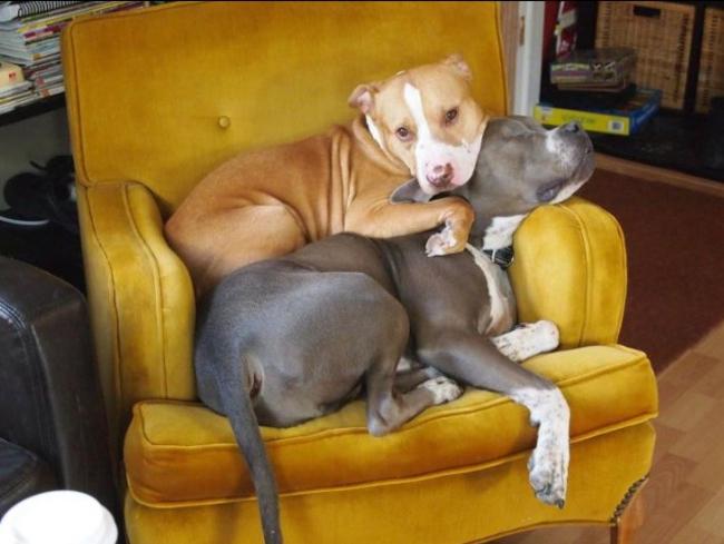 dos perros acostados en el mismo sillon