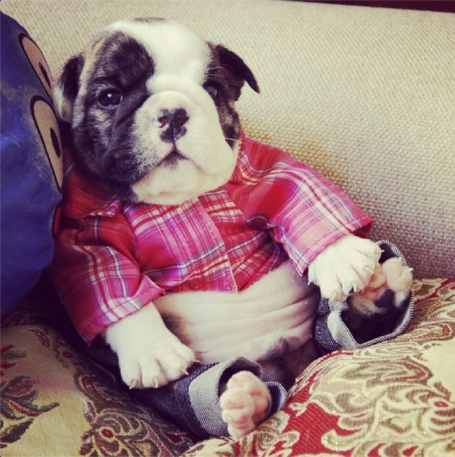 perrito con camisa vaquera y pantalon