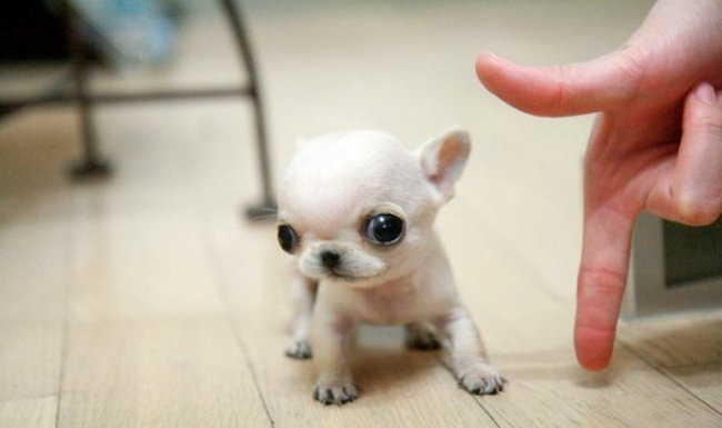 perro chuhuahua blanco