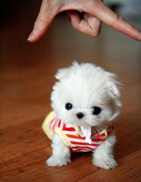 perrito blanco pequeño