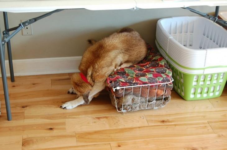 Perro mal acostado en unas cobijas limpias