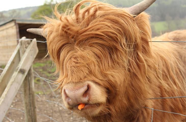 vaca pequeña con cabello largo
