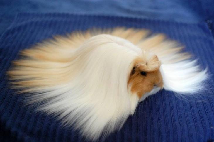 hamster con el cabello lacio y largo