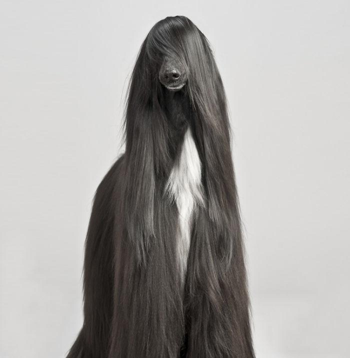 perro negro de raza afgano