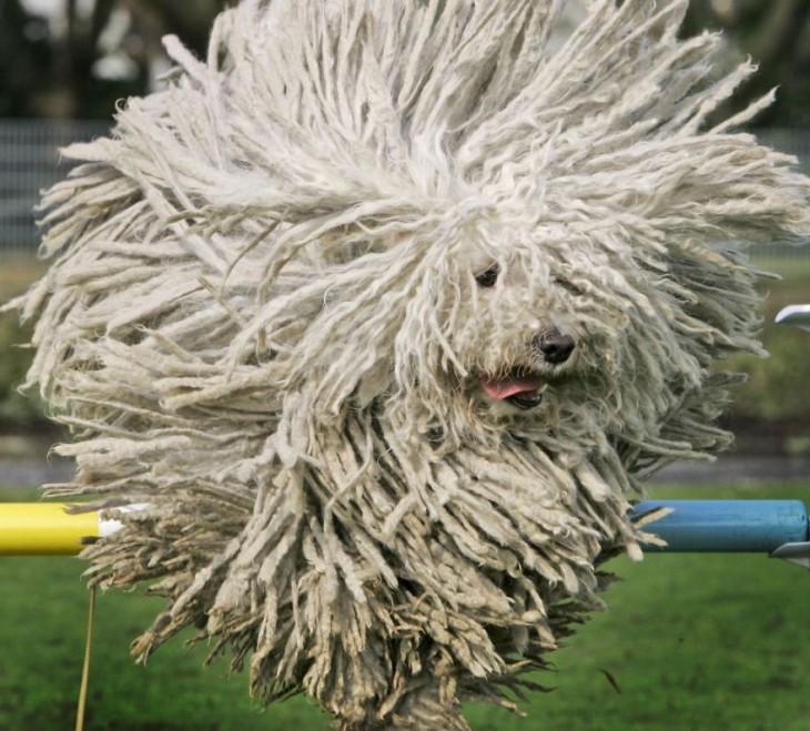 perro blanco que tiene el cabello como un trapeaador