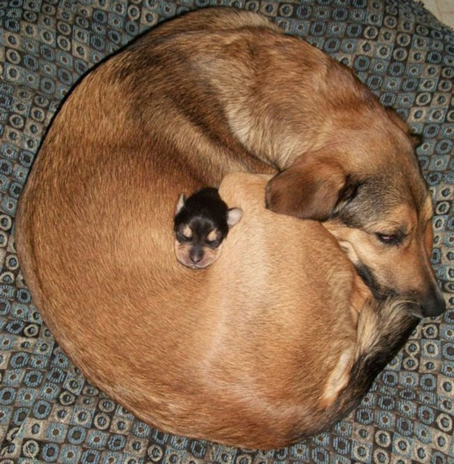 perro acostado con un perrito pequeño negro