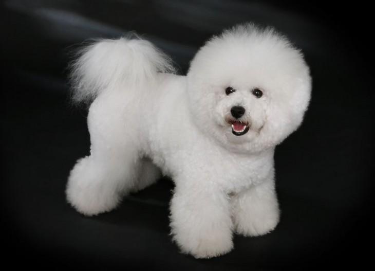 perro de raza bichon frise blanco