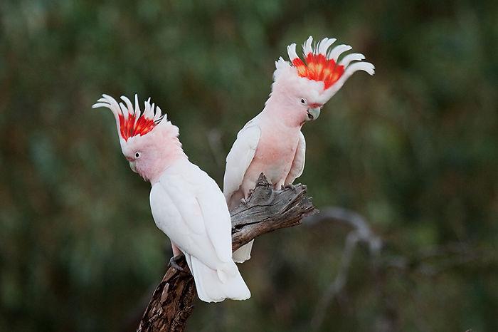 cacatua de color rosa con plumas paradas en la cabeza
