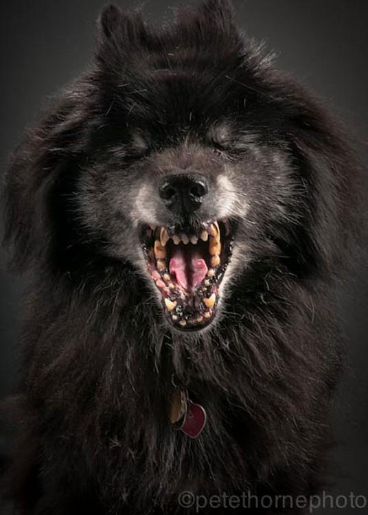 perro negro enseñando los colmilos