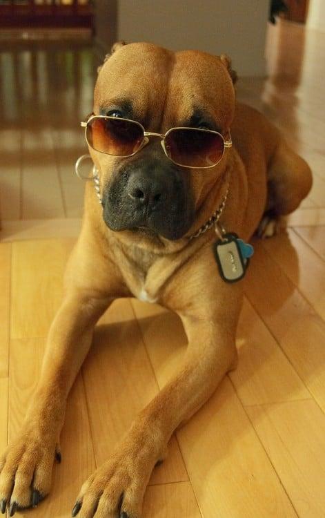 perro con lentes y una placa con su nombre