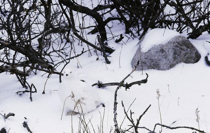 perdiz camuflada en la nieve