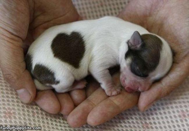 cachorro con una manchita en forma de corazzon