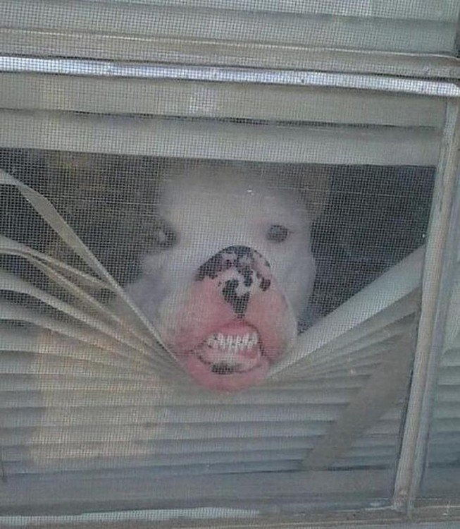 perro enseñando los dientes desde la ventana