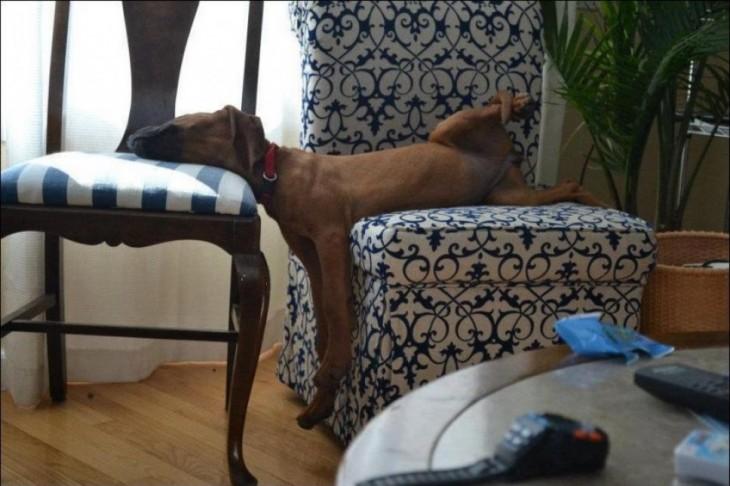 perro dormido con las patas para arrib