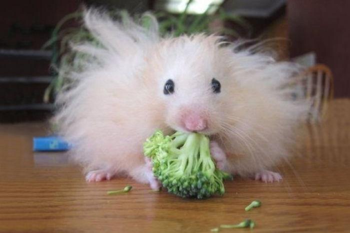 hamster comiendo un brocoli