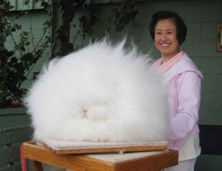 conejo de angora blanco que parece una mota