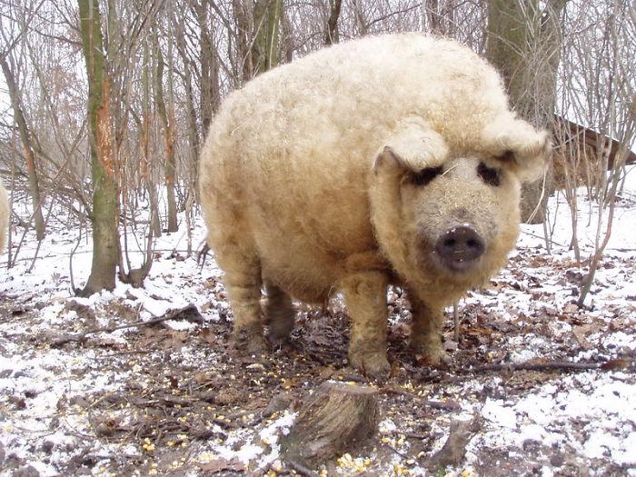 animal de nombre mangalica esponjado