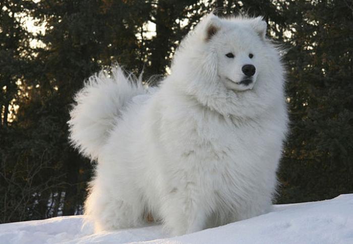 perro blanco de raza samoyedo