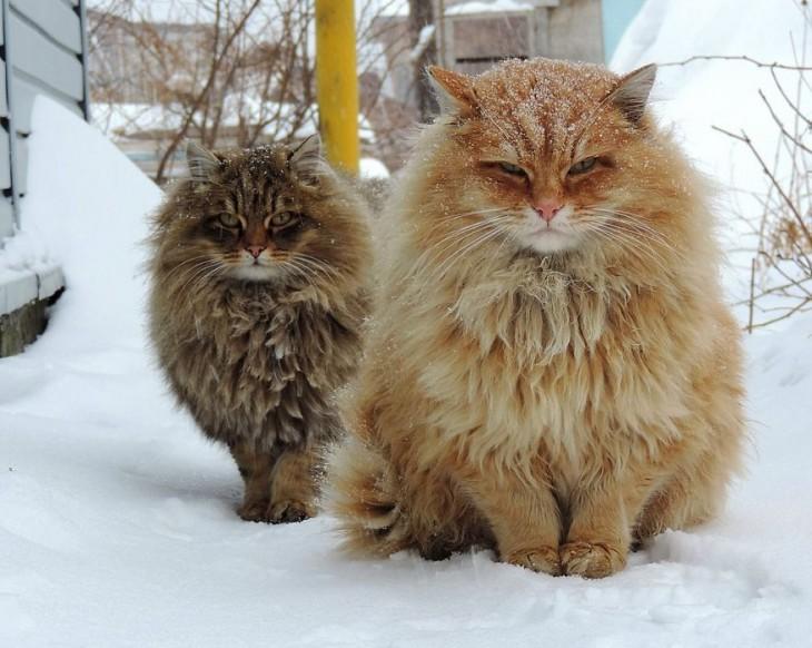 dos gatos siberianos en la nieve