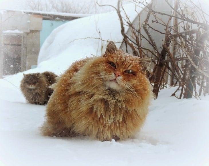 gato siberiano de color dorado