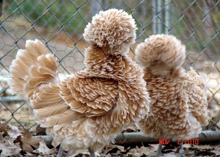 pollo cafe con plumas esponjadas