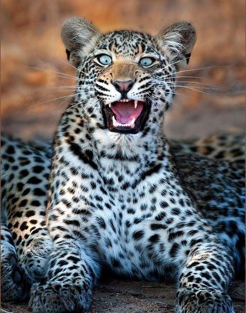 leopardo sorprendido
