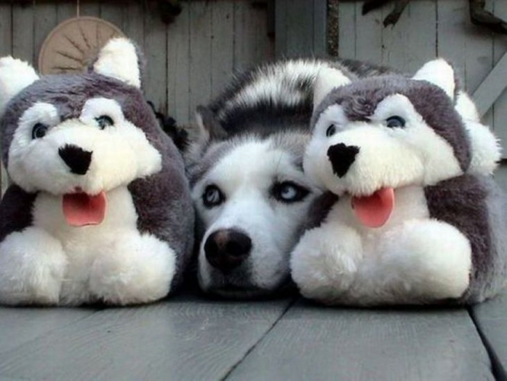 husky con dos peluches huskies