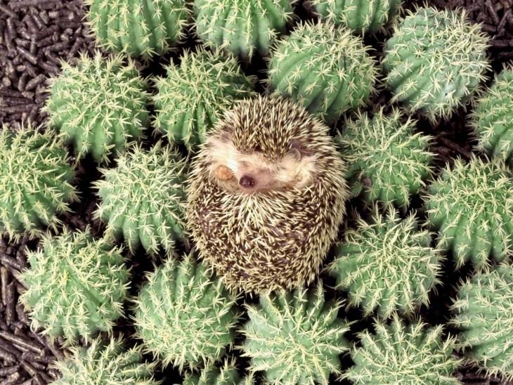 puerco espín con cactus