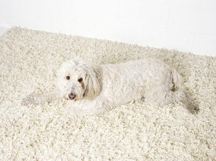 perro blanco camuflado en alfombra blanca