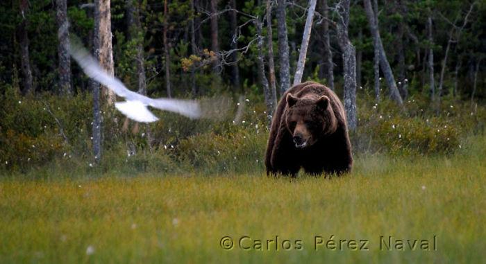 oso pardo y gaviota