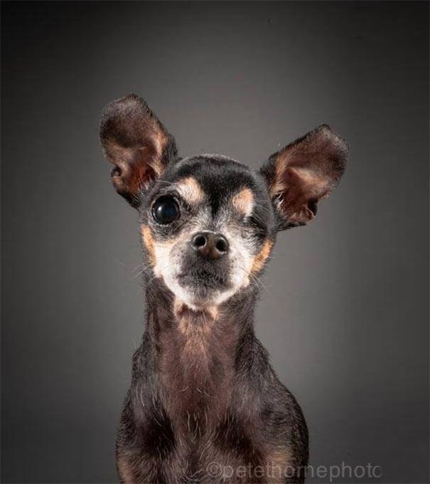 perro chihuahua negro con un ojo
