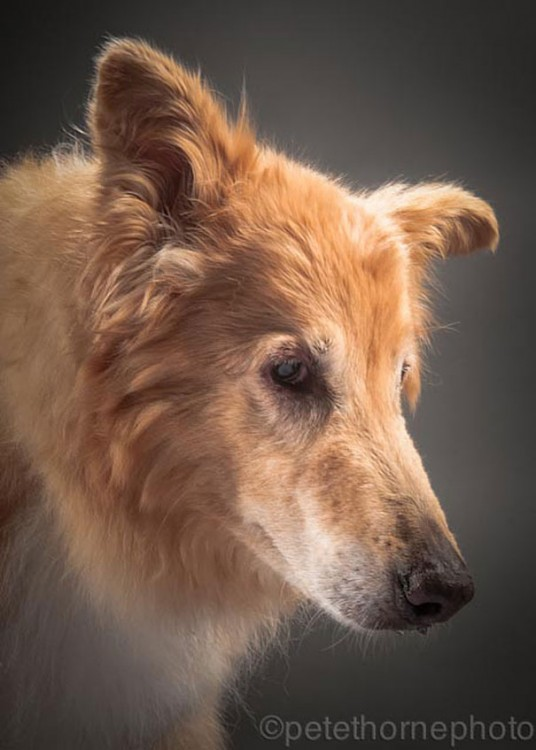 perro collie de perfil con orejas para abajo