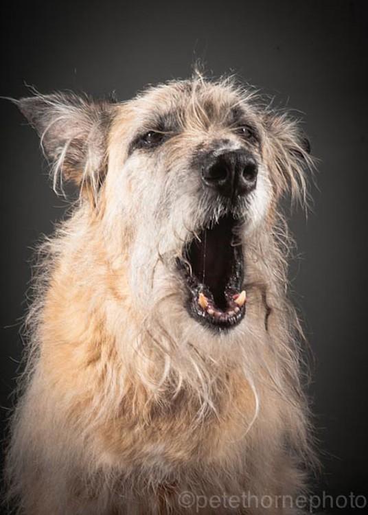 perro anciano que esta bostezando