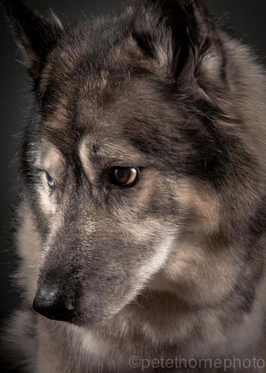 perro gris con negro con mirada triste