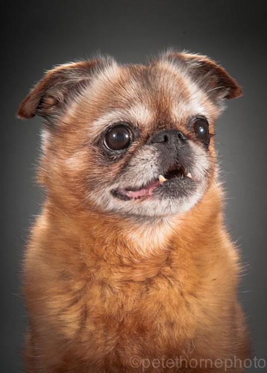 perro de color marrón mostrando sus colmilos