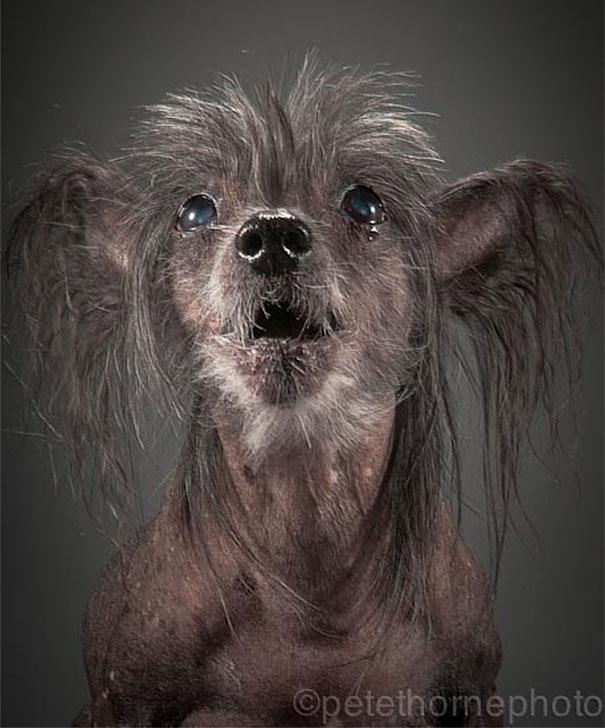 perro gris raza encrespado chino
