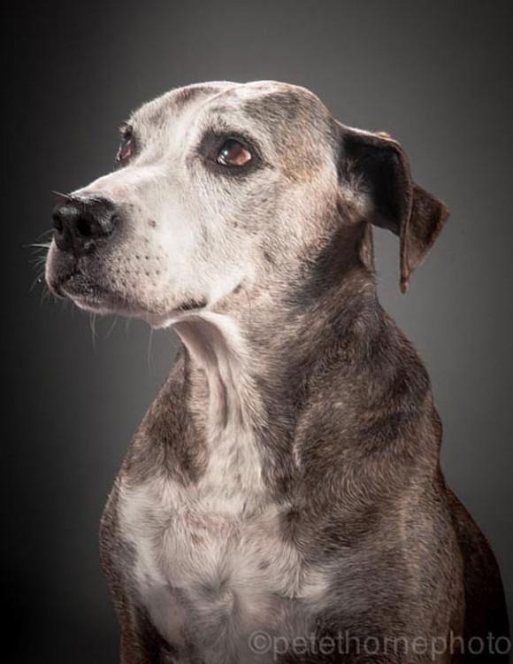 perro gris de perfil