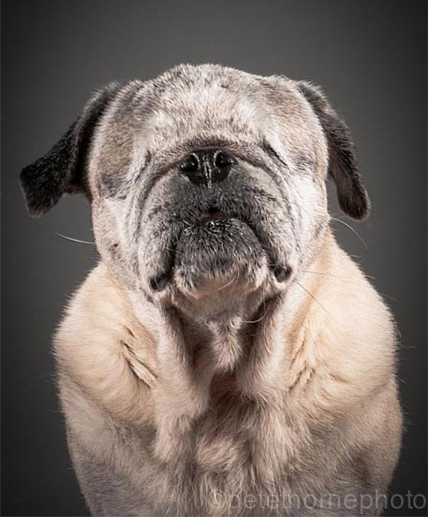 perro bull terrier sin ojos